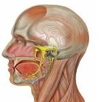 trigeminal-nerve